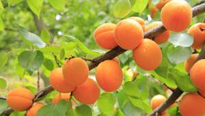 Image for National Apricot Day