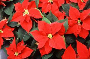 Image for National Poinsettia Day