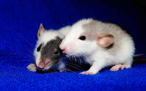 Image for World Rat Day