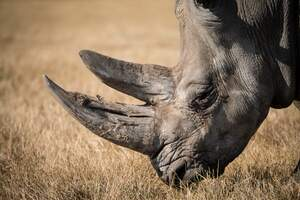 Image for World Rhino Day