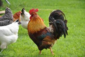 Image for International Respect for Chickens Day