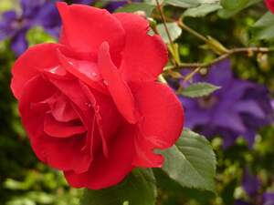Image for Red Rose Day