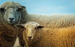 Image for Hug A Sheep Day