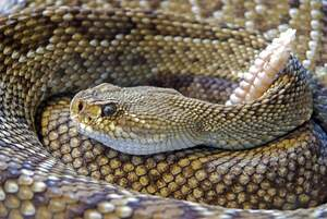 Image for Rattlesnake Roundup Day
