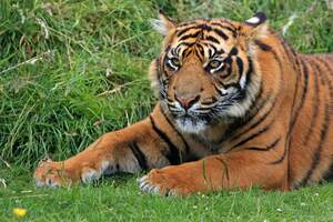 Image for International Tiger Day
