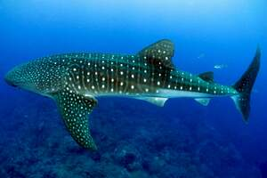 Image for International Whale Shark Day